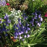 Bluebells σε έναν κήπο Στοκ Εικόνες