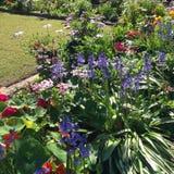 Bluebells σε έναν κήπο Στοκ φωτογραφίες με δικαίωμα ελεύθερης χρήσης