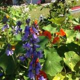 Bluebells σε έναν κήπο Στοκ φωτογραφία με δικαίωμα ελεύθερης χρήσης