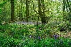 Bluebells στα ξύλα Essex την άνοιξη Στοκ φωτογραφία με δικαίωμα ελεύθερης χρήσης