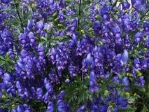 Bluebells στον κήπο Στοκ εικόνες με δικαίωμα ελεύθερης χρήσης