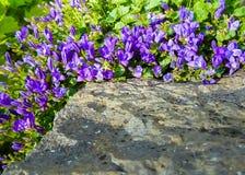 Bluebells στο βράχο Στοκ φωτογραφίες με δικαίωμα ελεύθερης χρήσης