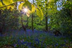 Bluebells στο πάρκο χώρας Hill Lickey Στοκ φωτογραφίες με δικαίωμα ελεύθερης χρήσης