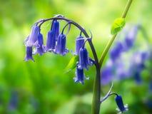 bluebells английское hyacinthoides scripta non стоковые фото