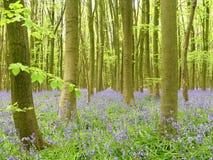 Bluebells в древесине Philipshill, Chorleywood, Хартфордшире, Англии, Великобритании стоковое изображение