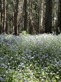 Bluebells в лесе весной стоковая фотография rf