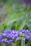 Bluebells в полесье Стоковое Фото