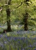 Bluebells в полесье стоковое фото rf
