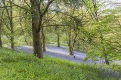 Bluebells в древесинах в дендропарке Winkworth Стоковые Фотографии RF