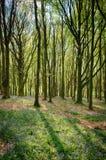 Bluebells в древесинах Кардиффе Wenallt Стоковое Изображение