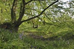 Bluebells в древнем английском полесье Стоковые Фото
