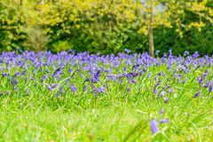 Bluebells в садах английских страны стоковая фотография rf