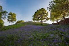 Bluebells и дубы под голубыми небесами стоковая фотография