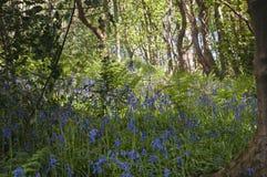 Bluebells и деревья стоковое фото rf