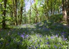 Bluebells на весеннем времени Стоковые Изображения