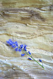 Bluebells на сосне Стоковая Фотография