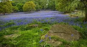 Bluebells под дубом Стоковые Фото