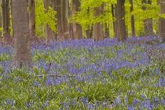 Bluebells Уилтшира стоковые фото