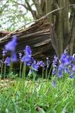 bluebells деревянные Стоковое Изображение RF