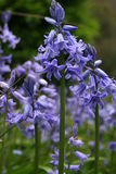 BlueBells image stock
