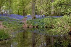 Bluebells Royalty Free Stock Photos