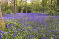 Bluebells. Carpeting a forest floor Royalty Free Stock Photo