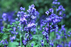 Bluebells Stockbild