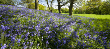 Bluebells Royalty Free Stock Images