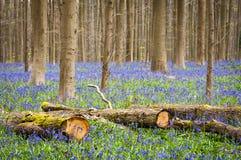 Bluebells Royalty Free Stock Image