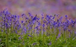 Bluebells Stock Photos