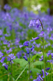 Bluebells Photographie stock