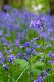 Bluebells Stockfotografie