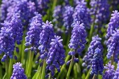 bluebells Стоковые Изображения