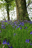 Through the Bluebells. A low angled view of Spring Bluebells viewed through green grass in a wooded area looking towards the base of a large tree. Location in Royalty Free Stock Photo