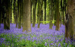 bluebells Obraz Royalty Free