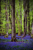 Bluebells amongst tall trees Royalty Free Stock Photo