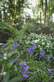 Bluebells And Ramsons Stock Photography
