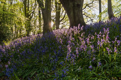 Bluebells backlit Royalty Free Stock Photography