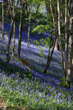 Bluebells in Bangor Stockfotos