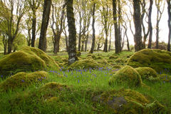 Bluebells bathing in the morning sun surrounded by mossy forest Stock Photography