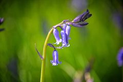 Bluebells Stock Image