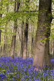 Bluebells and beech trees. Beech wood with a carpet of bluebells, West Wood near Marlborough, Wiltshire, England Stock Photos