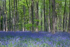 Bluebells in Beech wood Stock Photo