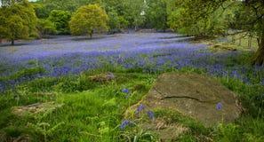 Bluebells beneath Oak Stock Photos