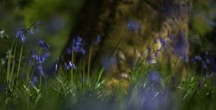 Bluebells beneath Oak  2 Stock Photo