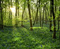 Bluebell Sunrise in Blakes Wood royalty free stock photos