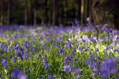 Bluebells in bloom Royalty Free Stock Photo