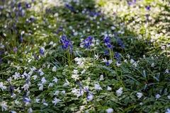 Bluebells bloom in Hallerbos wood, Belgium Stock Image