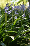 Bluebells blooming in sunlight Royalty Free Stock Photography