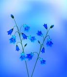 Bluebells Stock Photo